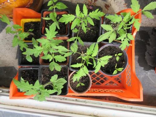semis de tomates - Page 29 Img_1127