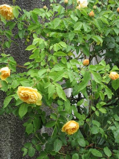 roses en vrac Img_1213