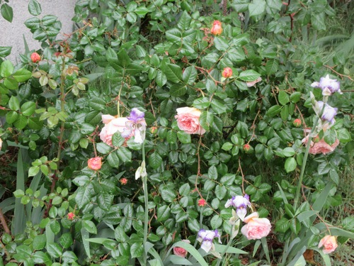roses en vrac Img_1214
