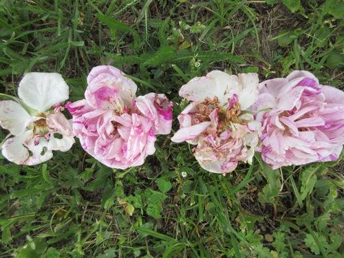 roses en vrac - Page 4 Img_1225