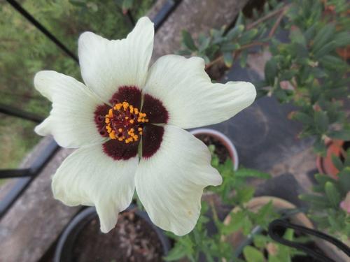 hibiscus trionum Img_1579