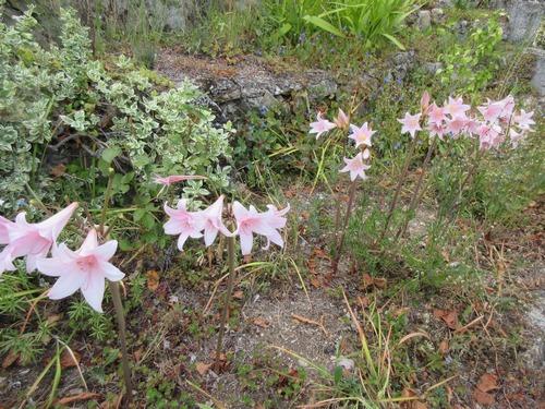 amaryllis belladona Img_1621