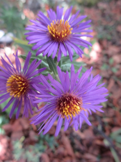 Aster d'automne  - Page 22 Img_1650