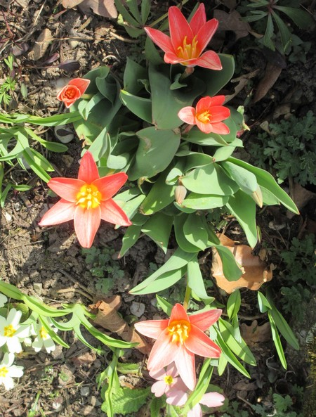 Tulipes. - Page 2 Img_1936