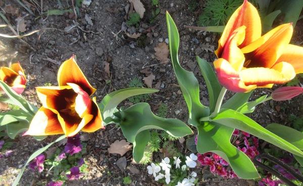 Tulipes. - Page 3 Img_2025