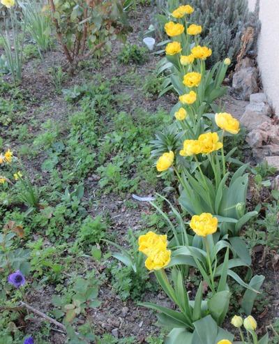 Tulipes. - Page 4 Img_2035