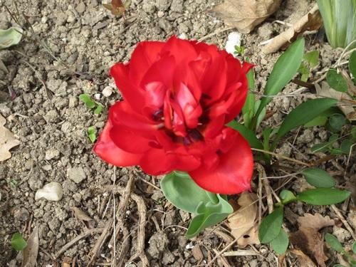 Tulipes. - Page 4 Img_2061