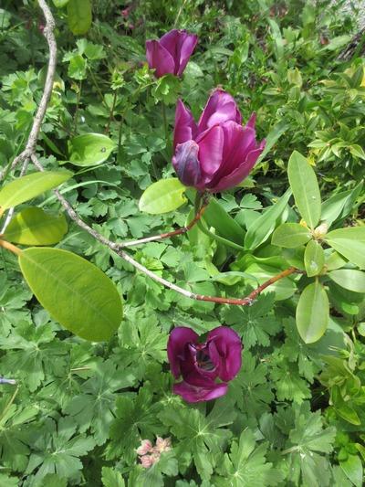 Tulipes. - Page 4 Img_2062
