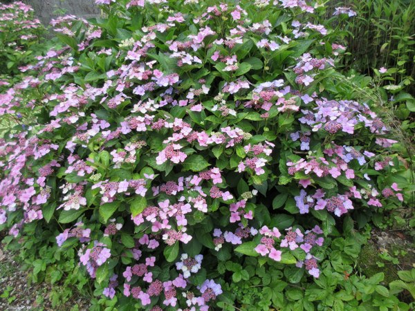 les hortensias . - Page 42 Img_2527