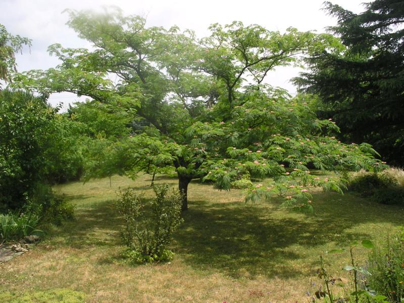Albizia(ou arbre a soie) - Page 4 Imgp0046