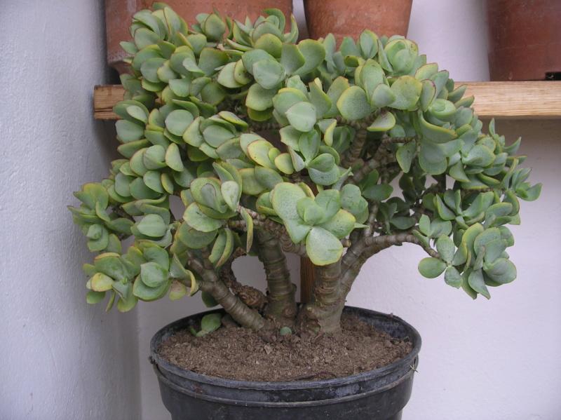Présentation de tous nos cactus et succulentes  Imgp0120