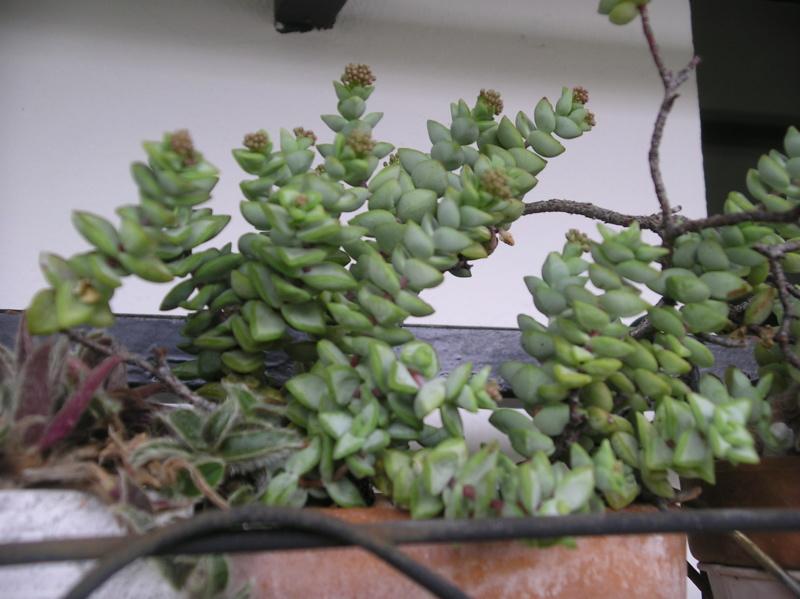 Présentation de tous nos cactus et succulentes  Imgp0125