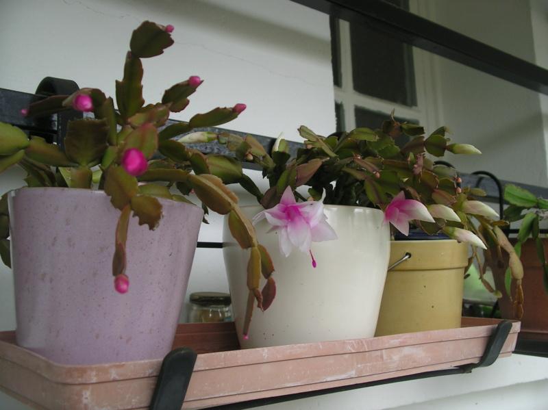Présentation de tous nos cactus et succulentes  Imgp0127