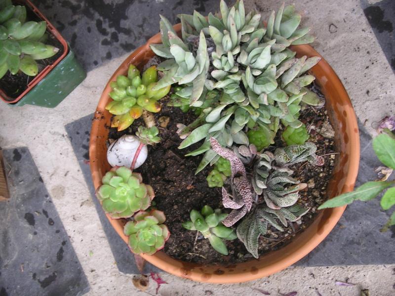 Présentation de tous nos cactus et succulentes  Imgp0128