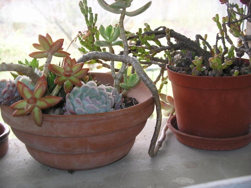 Présentation de tous nos cactus et succulentes  Imgp0129