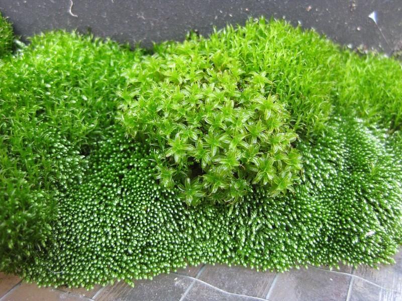 Zeigt her Eure ... Sporenpflanzen Img_8520