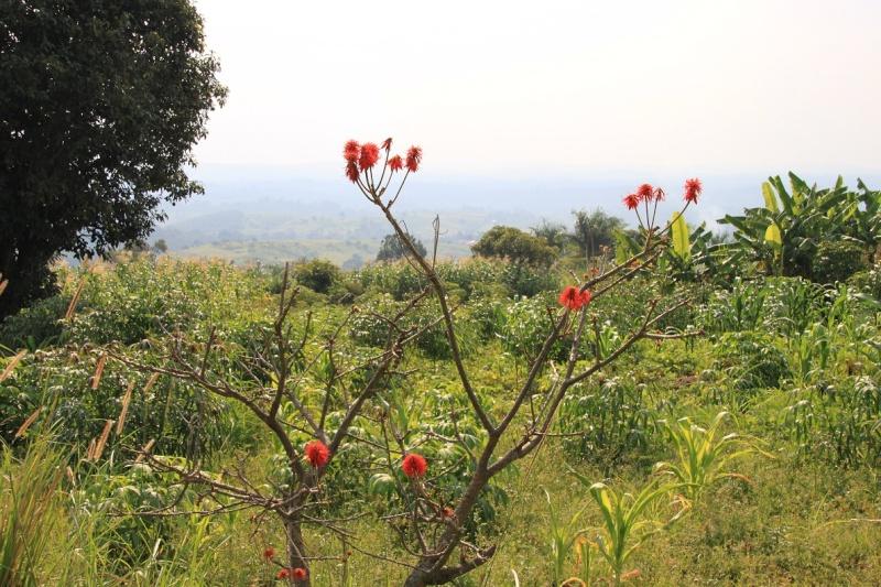 Identification d'une plante ougandaise [erythrina ....] Arbre_11