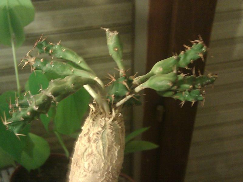 euphorbia micracantha Img_2011