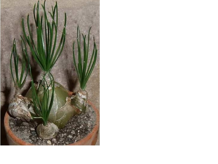 ledebouria leptophylla? Ledebo10