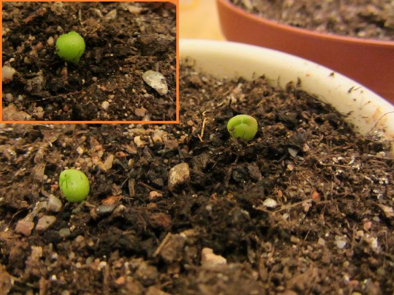 Trois petites graines de pseudolithos eylensis (15 jours) Pseudo10