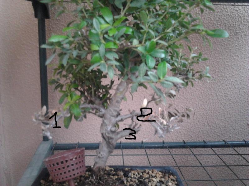 SOS Ilex perdita foglie su rami inferiori 2012-015