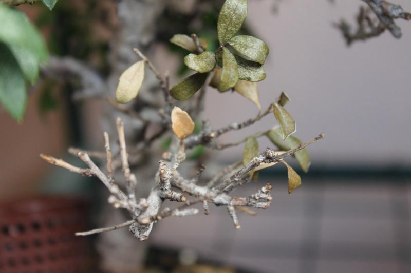 SOS Ilex perdita foglie su rami inferiori Img_5811