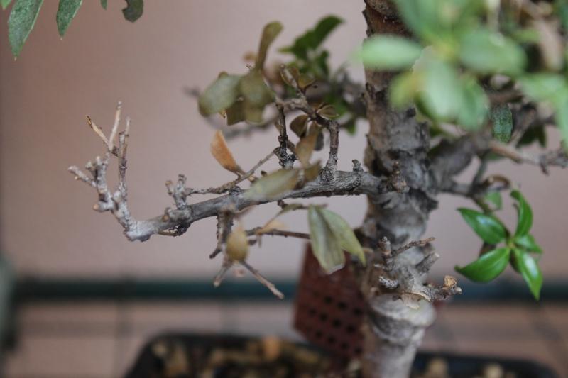 SOS Ilex perdita foglie su rami inferiori Img_5812