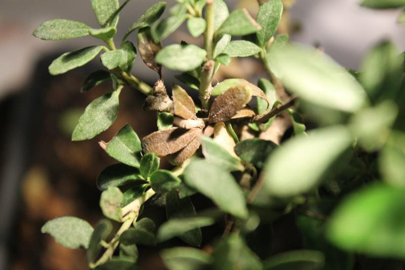 SOS Ilex perdita foglie su rami inferiori Img_5814
