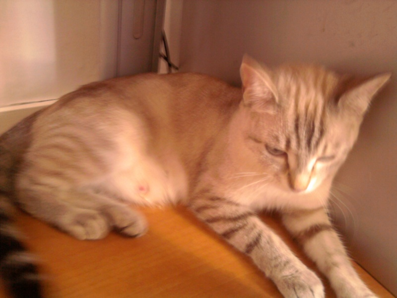 Perdue chatte tigrée quartier Rangueil le 17/07/2012 Photo010