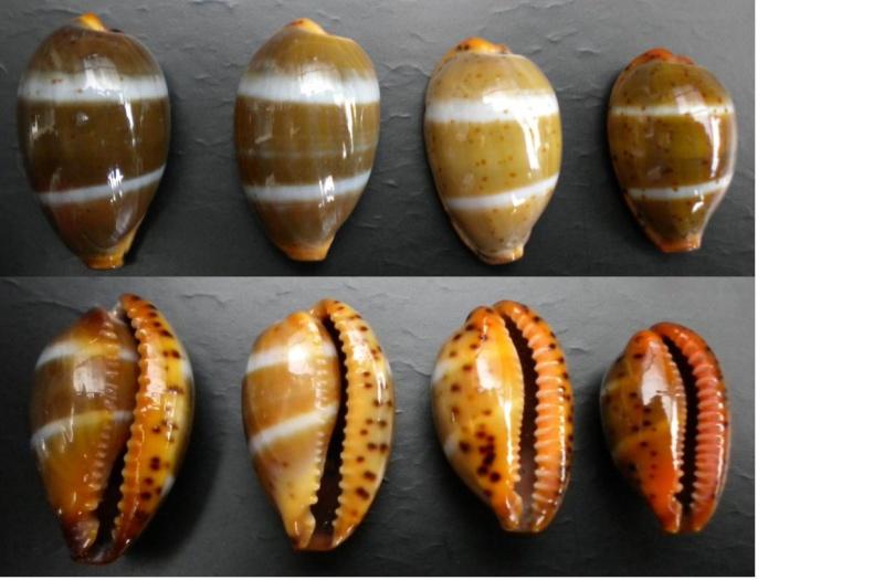 Palmadusta lutea - (Gmelin, 1791) Lutaa-12