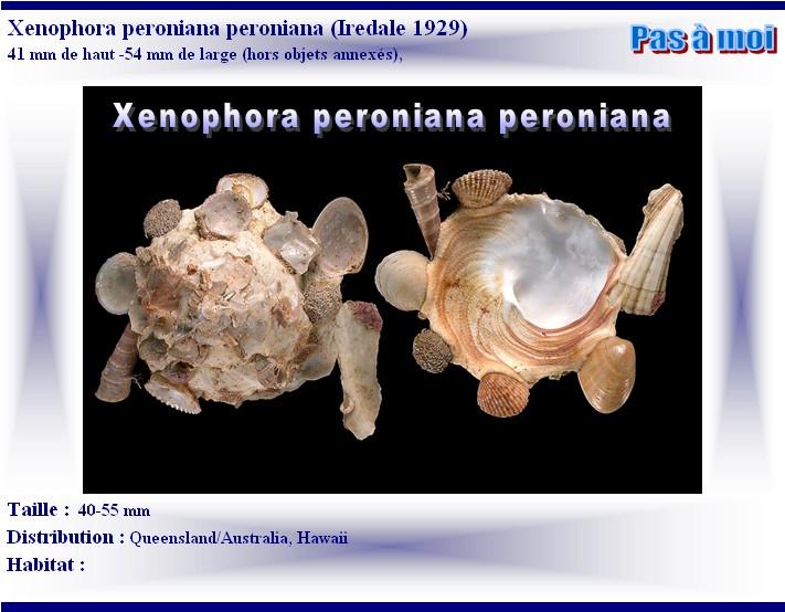 Xenophora peroniana - (Iredale, 1929)  X-pero12