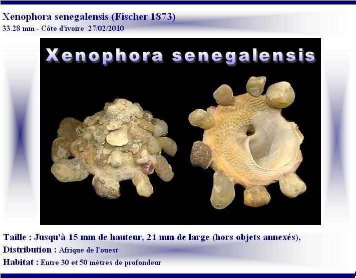Xenophora senegalensis - P. Fischer, 1873 X-sene10