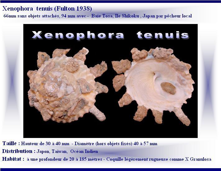 Xenophora tenuis - Fulton, 1938 X-tenu13