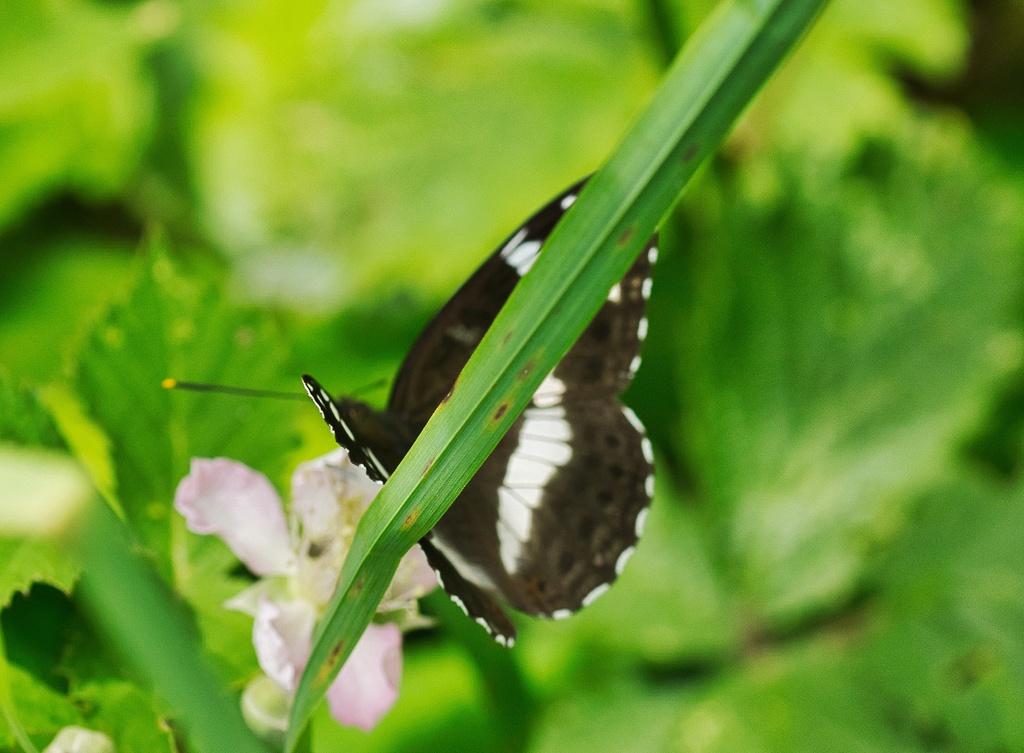 Nymphalidae Dsc05310