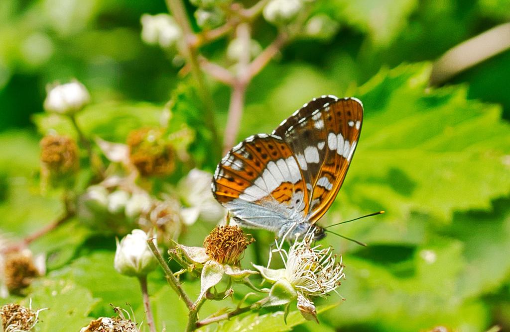 Nymphalidae Dsc05311