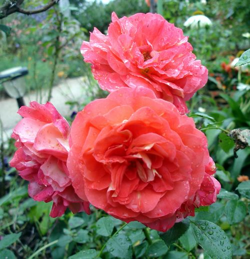 rosier joli tambour Dsc04733