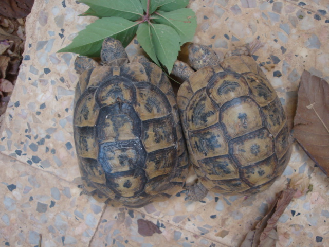 identification de mes tortue Dsc02220