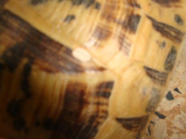taches blanches sur les carapace Dsc02316