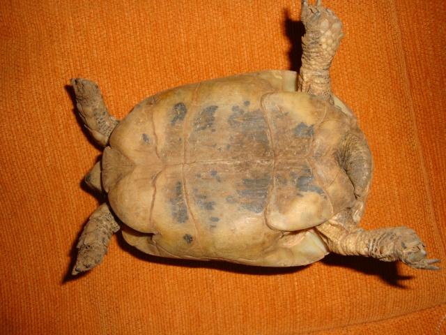 identification de mes tortue Dsc02333