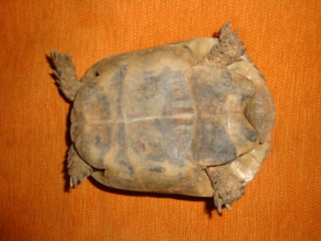 identification de mes tortue Dsc02335