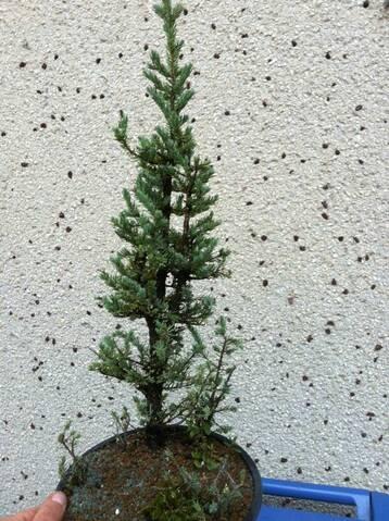 Black Spruce Picea Mariana