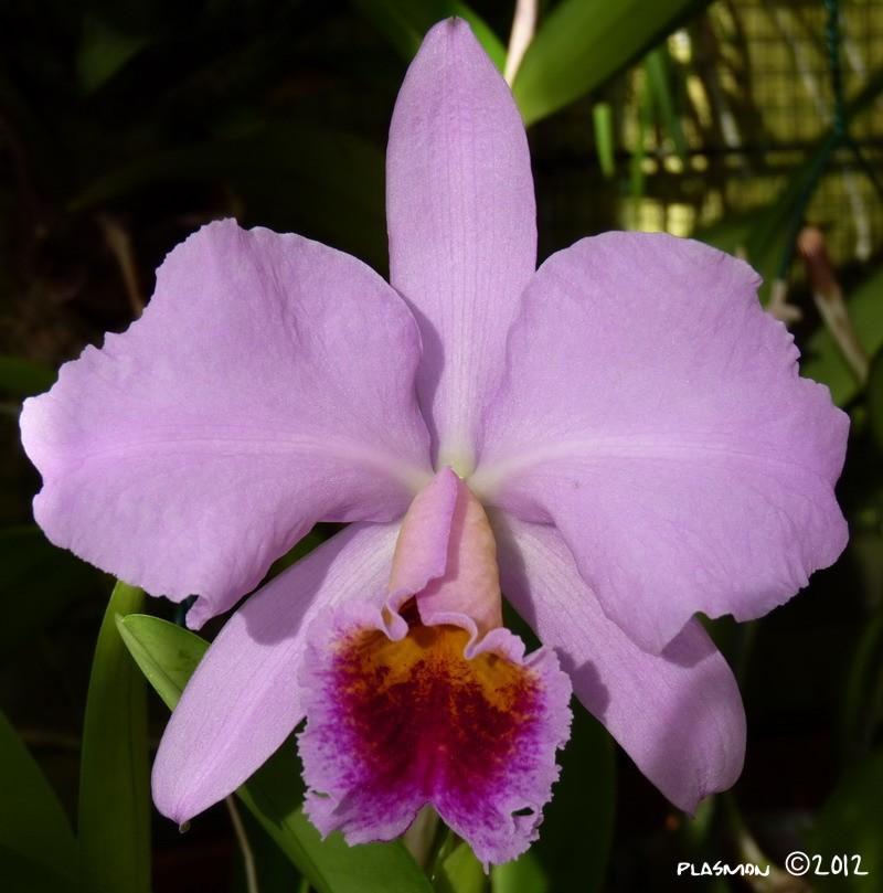 Cattleya percivaliana Perci_10