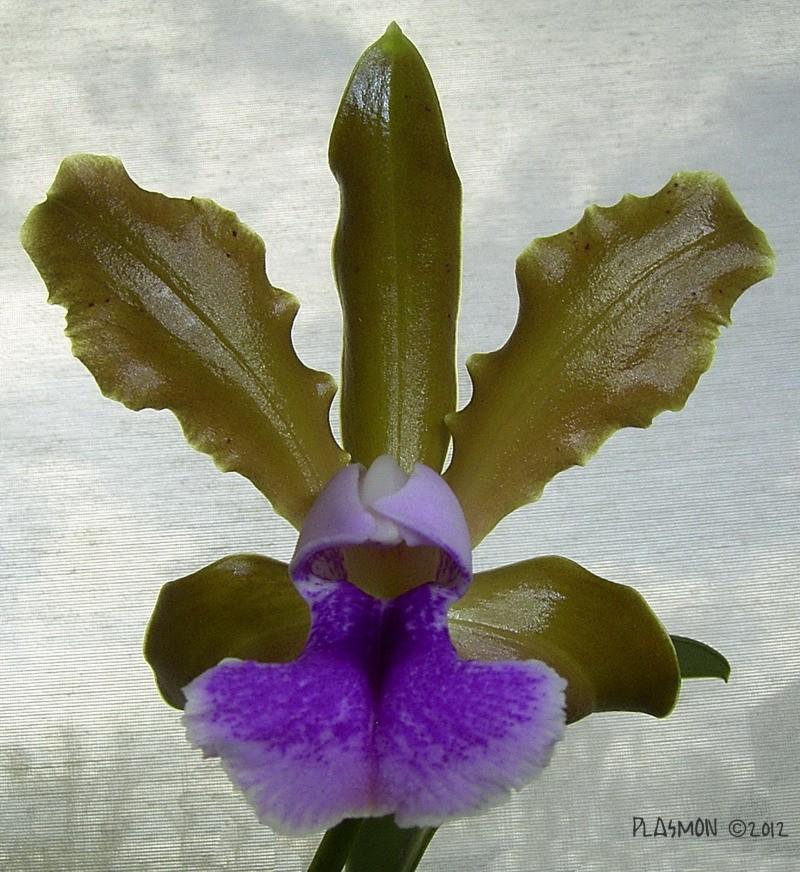 Cattleya tenuis Plasmo10