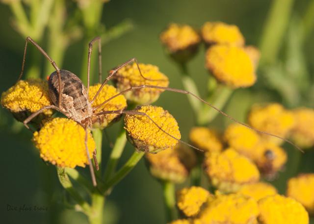 Opilion - Phalangium opilio + l' Araignée rouge Nature56