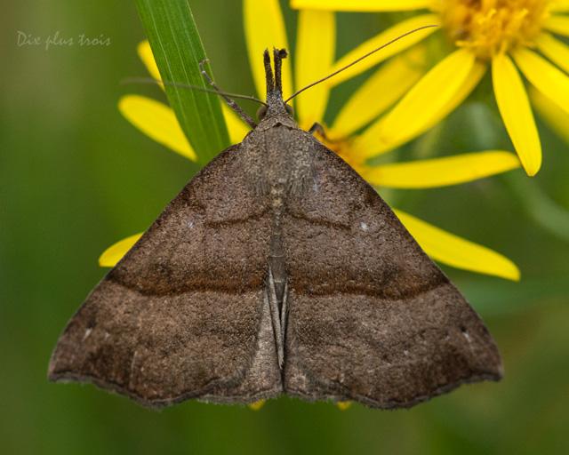 La noctuelle à museau - (Hypena proboscidalis) Nature61