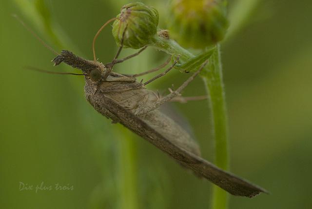 La noctuelle à museau - (Hypena proboscidalis) Nature62