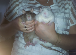 Mes 3 ratounes. ♥ Couple10