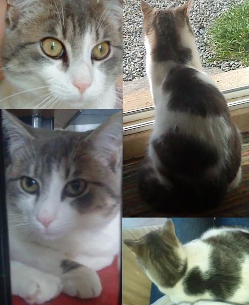MINOU Chat perdu gris et blanc Redon 35600 (MAI 2012) Leminn10