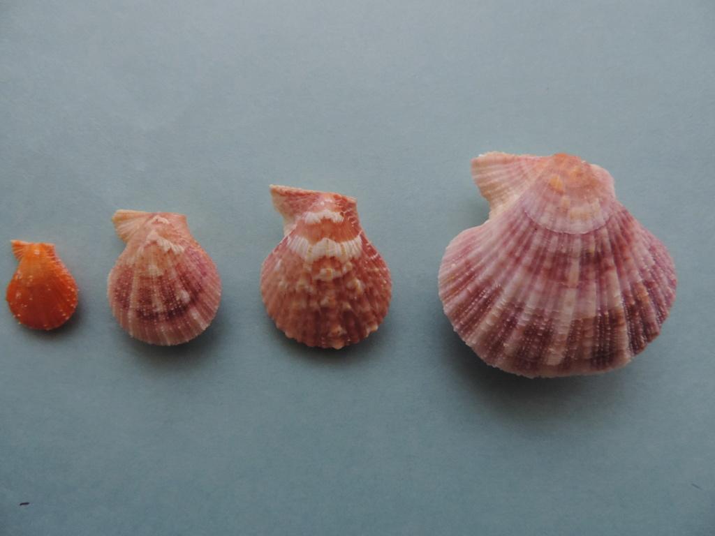 Talochlamys zelandiae - (Gray, 1843)  Dscn0030