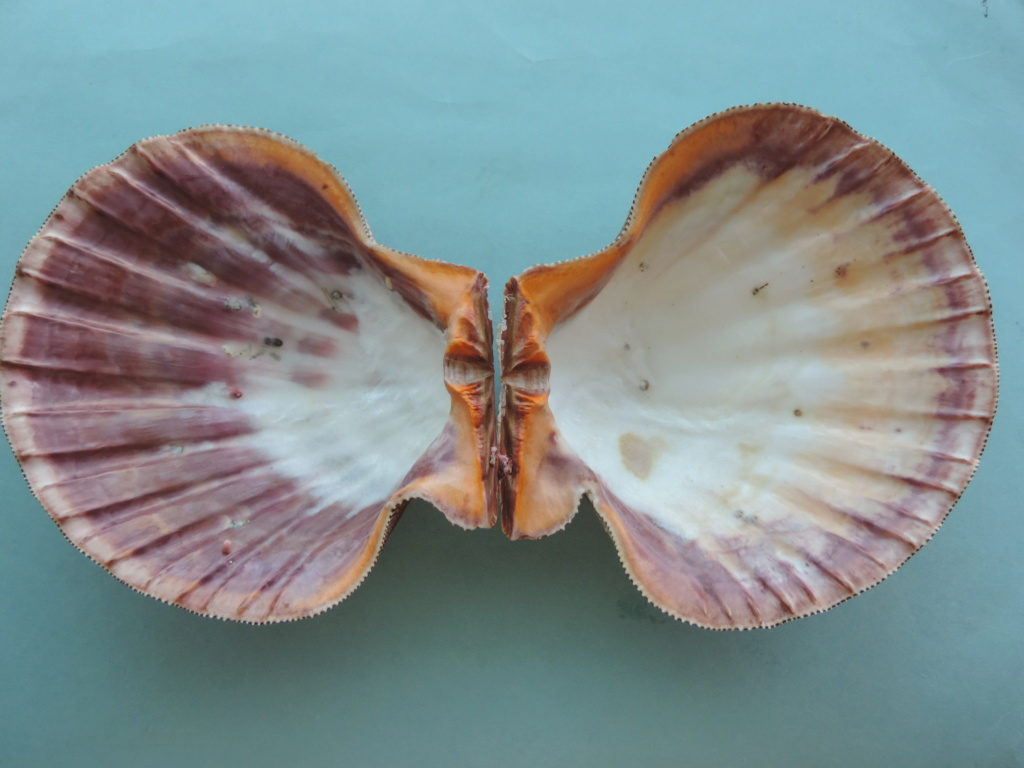 Nodipecten subnodosus - (G. B. Sowerby I, 1835) Dscn9417